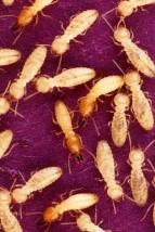 semut-paling-bahaya